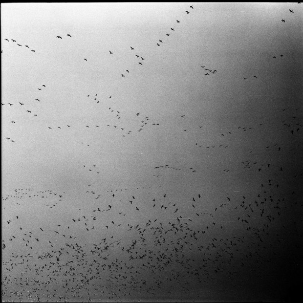 The Great American Geese - Nick Zegel