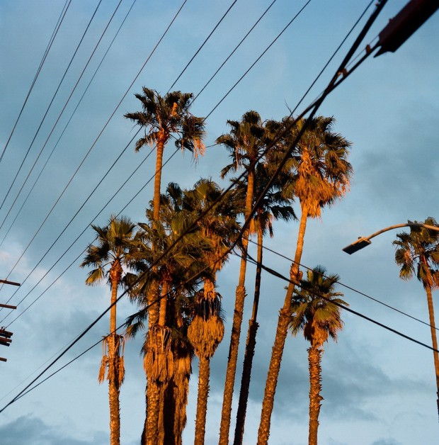 Palm Trees in Silverlake