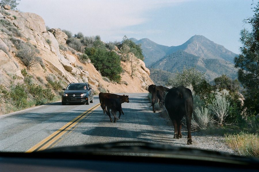 Cattle Kern River